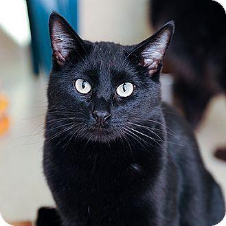 Domestic Shorthair Cat for adoption in Kanab, Utah - Loki