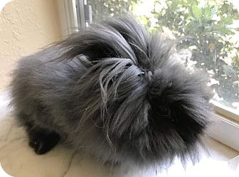 Lionhead Mix for adoption in West Palm Beach, Florida - Bianca
