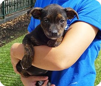 Shepherd (Unknown Type)/Pit Bull Terrier Mix Puppy for adoption in Lathrop, California - Cyndee