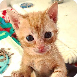 Domestic Shorthair Kitten for adoption in Huntsville, Alabama - BB8