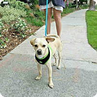 Adopt A Pet :: Dusty is a Puggle! - Redondo Beach, CA