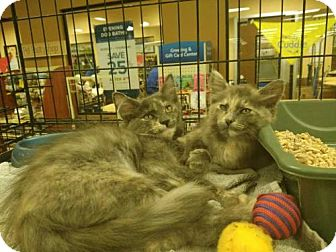 Maine Coon Kitten for adoption in Corona, California - KIKI & MIKAH