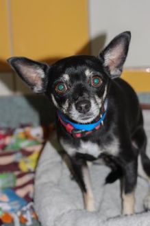Terrier (Unknown Type, Small) Mix Dog for adoption in Houston, Texas - Dauby