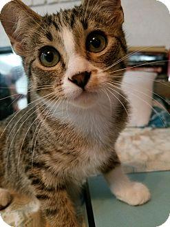 Domestic Shorthair Kitten for adoption in Rosemead, California - Korben Dallas