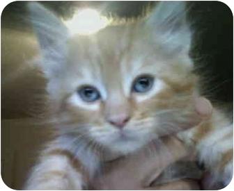Domestic Mediumhair Kitten for adoption in Davis, California - Ben