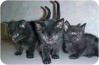 Domestic Mediumhair Kitten for adoption in North Judson, Indiana - 3 Kitties