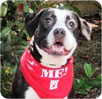 Boxer/Pit Bull Terrier Mix Dog for adoption in San Diego, California - Phoebe