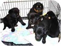 "Gordon Setter Mix Puppy for adoption in Avon, New York - ""L"" Litter"