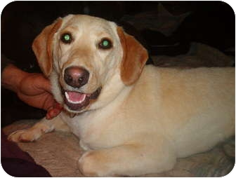 Labrador Retriever Puppy for adoption in North Jackson, Ohio - Kelsie