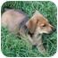 Photo 2 - Rottweiler/Labrador Retriever Mix Puppy for adoption in Glastonbury, Connecticut - Mattie