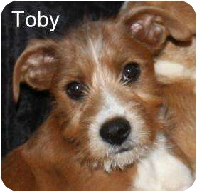 Dachshund/Schnauzer (Standard) Mix Puppy for adoption in New Jersey, New Jersey - NJ - Toby