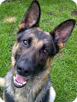 German Shepherd Dog Dog for adoption in Rigaud, Quebec - Rex