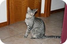 Egyptian Mau Cat for adoption in Quail Valley, California - Mama