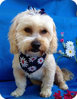 Maltese/Lhasa Apso Mix Dog for adoption in Irvine, California - Chip