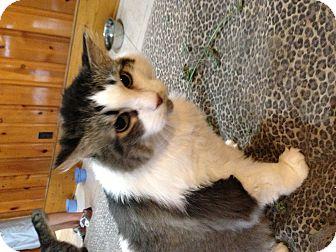 Domestic Mediumhair Cat for adoption in Greenville, South Carolina - Albert