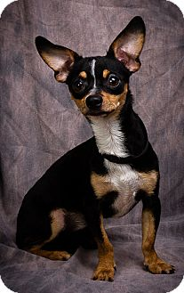 Chihuahua Dog for adoption in Anna, Illinois - BEAR BOY