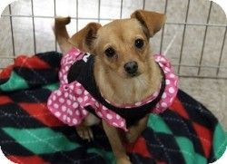 Chihuahua Mix Puppy for adoption in Mesa, Arizona - Lily
