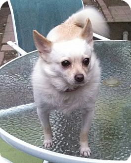 Chihuahua Mix Dog for adoption in Lake Butler, Florida - Maxwell