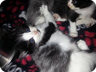Domestic Longhair Kitten for adoption in Greer, South Carolina - Dahlia