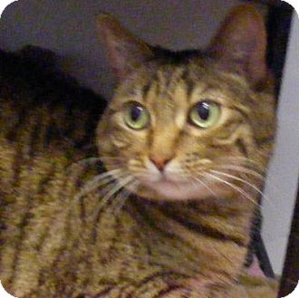 Domestic Shorthair Cat for adoption in Denver, Colorado - Lilly
