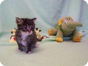 Domestic Shorthair Kitten for adoption in China, Michigan - Hermes