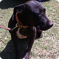 Pit Bull Terrier Mix Dog for adoption in Blanchard, Oklahoma - Zoe