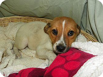 Hound (Unknown Type) Mix Puppy for adoption in Waldorf, Maryland - Honey