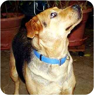 German Shepherd Dog Mix Dog for adoption in Avon, New York - Cheyenne