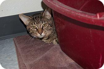 Manx Cat for adoption in Martinsville, Indiana - Ludo