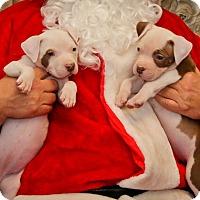 Adopt A Pet :: Violet - Reisterstown, MD