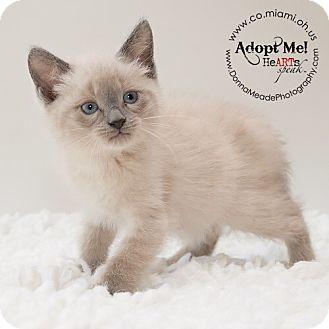 Siamese Kitten for adoption in Troy, Ohio - Porsche-Adopted