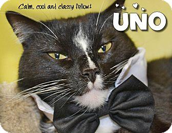 Domestic Shorthair Cat for adoption in Davenport, Iowa - Uno