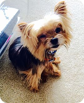 Yorkie, Yorkshire Terrier Dog for adoption in Oakland, California - TORY