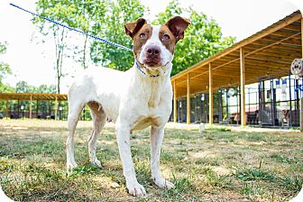 Bull Terrier Mix Dog for adoption in Jasper, Alabama - boxer mix