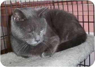 Domestic Shorthair Cat for adoption in Honesdale, Pennsylvania - Flannel
