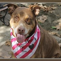 Doberman Pinscher Mix Dog for adoption in Pasadena, California - GINGER