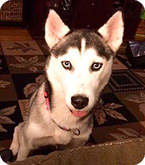 Husky Puppy for adoption in Hockessin, Delaware - Chloe