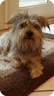 Cairn Terrier/Schnauzer (Miniature) Mix Dog for adoption in Mary Esther, Florida - Riley