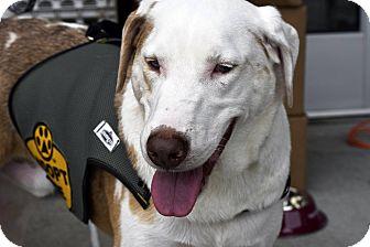 Australian Shepherd/German Shepherd Dog Mix Dog for adoption in Arden, North Carolina - Montana