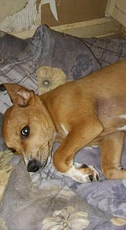 Beagle/Labrador Retriever Mix Dog for adoption in Loganville, Georgia - Elway