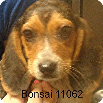 Beagle Puppy for adoption in Greencastle, North Carolina - Bonsai