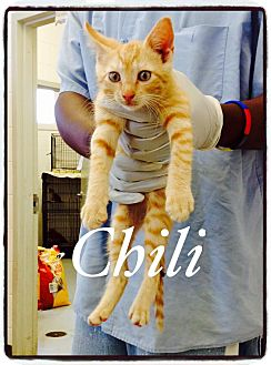 Domestic Shorthair Cat for adoption in Dillon, South Carolina - Chilli