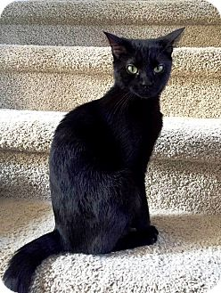 Domestic Shorthair Cat for adoption in Nolensville, Tennessee - CeeCee