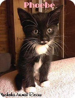 Domestic Shorthair Kitten for adoption in Huntsville, Ontario - Phoebe - Adopted December 2016