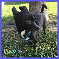 Chihuahua Mix Dog for adoption in Hollywood, Florida - Paco Tu
