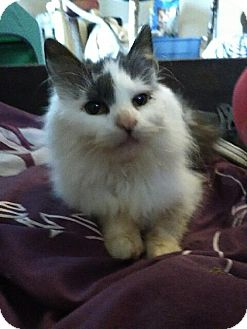 Domestic Mediumhair Cat for adoption in Greensburg, Pennsylvania - Polly