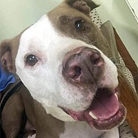 American Staffordshire Terrier Mix Dog for adoption in Ventura, California - Bandit