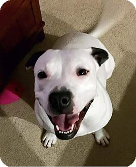 Pit Bull Terrier/Dalmatian Mix Dog for adoption in Eugene, Oregon - Gidget