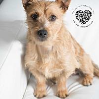 Adopt A Pet :: Tiny Toby - Inglewood, CA