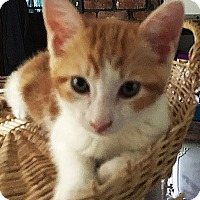 Adopt A Pet :: Laser - N. Billerica, MA